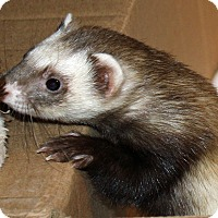 Ferret for adoption in Indianapolis, Indiana - Fronds