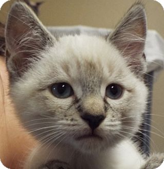 Siamese Kitten for adoption in Grants Pass, Oregon - Scooter