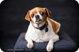 Japanese Chin/Italian Greyhound Mix Dog for adoption in Atlanta, Georgia - Theodore