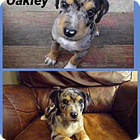 Adopt A Pet :: Oakley pending adoption - Manchester, CT