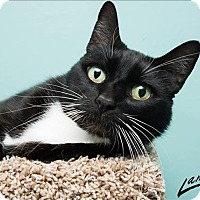 Domestic Shorthair Cat for adoption in Sherwood, Oregon - Rowan