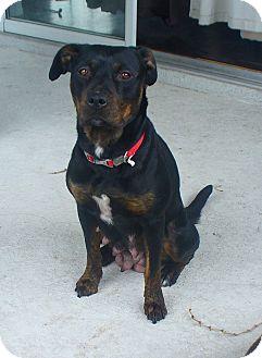 Rottweiler Mix Dog for adoption in Largo, Florida - Athena