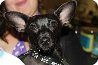 Chihuahua/Rat Terrier Mix Dog for adoption in College Station, Texas - Rosabell