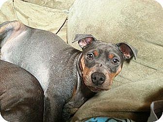 Miniature Pinscher Mix Dog for adoption in Orlando, Florida - Jazz