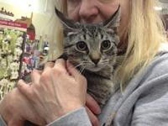 Domestic Shorthair Cat for adoption in Old Bridge, New Jersey - Manny