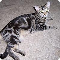 Domestic Shorthair Cat for adoption in Ravenel, South Carolina - Sweet Pea