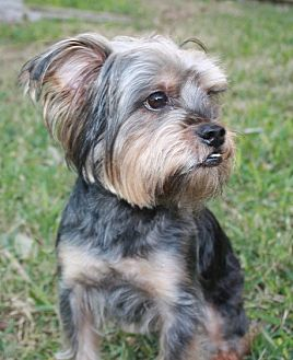 Yorkie, Yorkshire Terrier/Schnauzer (Miniature) Mix Dog for adoption in Statewide and National, Texas - Angus