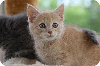 Domestic Shorthair Kitten for adoption in Gainesville, Virginia - Timothy