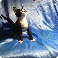 Domestic Shorthair Kitten for adoption in Sarasota, Florida - Monty
