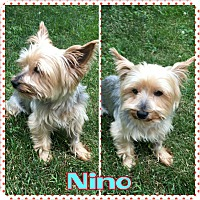 Adopt A Pet :: Nino - bridgeport, CT