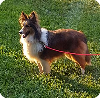 Sheltie, Shetland Sheepdog Dog for adoption in New Castle, Pennsylvania - Diamond  (ADOPTED)