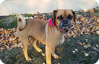 Beagle/Pug Mix Dog for adoption in New Oxford, Pennsylvania - Emma Baby