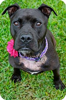 American Pit Bull Terrier Mix Dog for adoption in Seattle, Washington - Harriet