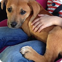 Adopt A Pet :: Hayla-pending adoption - Manchester, CT