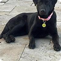 Adopt A Pet :: Brigit - Oakhurst, NJ