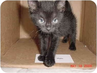 American Shorthair Kitten for adoption in Inverness, Florida - Carlo