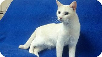 Siamese Cat for adoption in East Hanover, New Jersey - Milo