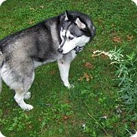 Adopt A Pet :: Akira - Brick, NJ