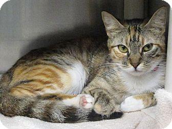 Domestic Shorthair Cat for adoption in Concord, North Carolina - Tressy