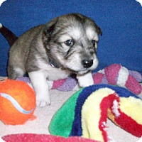 Adopt A Pet :: Puppy Pascal - Augusta County, VA