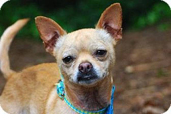 Chihuahua Mix Dog for adoption in Bellevue, Washington - Dutch