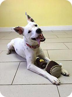 Dalmatian Mix Dog for adoption in Philadelphia, Pennsylvania - Giboney