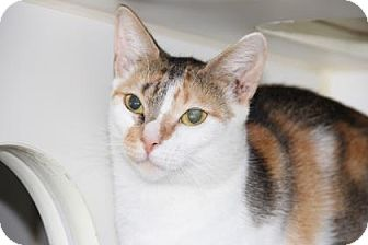 Domestic Shorthair Cat for adoption in Greensboro, North Carolina - Katrina
