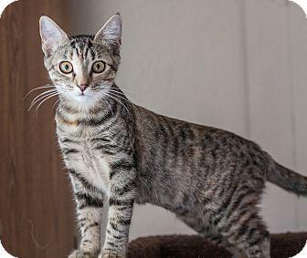 Domestic Shorthair Kitten for adoption in Prescott, Arizona - Kona