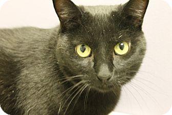 Domestic Shorthair Cat for adoption in Medina, Ohio - Ellie