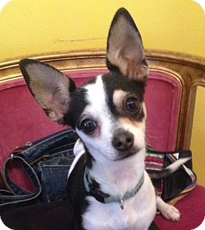 Chihuahua Dog for adoption in Studio City, California - Pancho