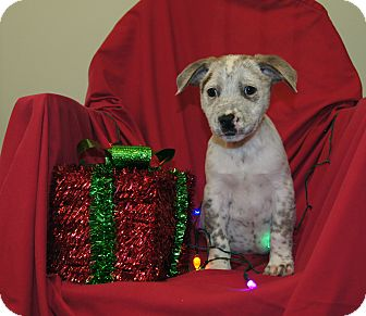 Australian Cattle Dog/Blue Heeler Mix Puppy for adoption in Saratoga Springs, New York - Boomer ~ ADOPTED!