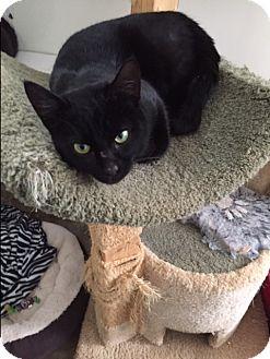 Domestic Shorthair Cat for adoption in Ashland, Ohio - Bosco