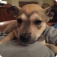Shiba Inu Mix Puppy for adoption in Glastonbury, Connecticut - Sasha