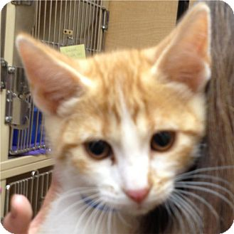 Domestic Shorthair Kitten for adoption in Weatherford, Texas - Jimmy