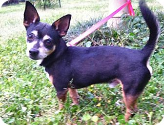 Chihuahua Dog for adoption in Baton Rouge, Louisiana - Paco