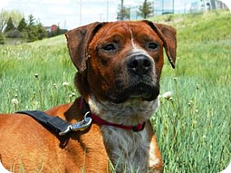 American Pit Bull Terrier Mix Dog for adoption in Cheyenne, Wyoming - Oscar