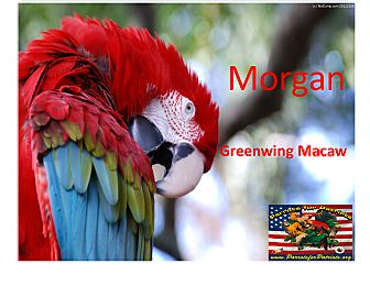 "Macaw for adoption in Vancouver, Washington - ""Morgan"" Greenwing"