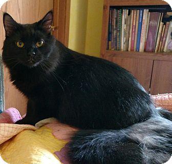 Maine Coon Cat for adoption in Ypsilanti, Michigan - Aesop