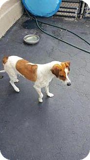 Hound (Unknown Type) Mix Dog for adoption in ST LOUIS, Missouri - Violet