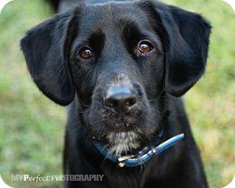 Spaniel (Unknown Type)/Retriever (Unknown Type) Mix Dog for adoption in Miami, Florida - chance