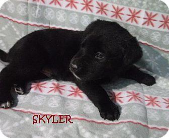 Border Collie Puppy for adoption in Batesville, Arkansas - Skyler