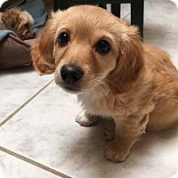 Adopt A Pet :: Misty - San Diego, CA