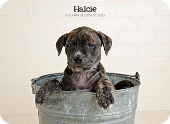 Labrador Retriever Mix Puppy for adoption in Denver, Colorado - Halcie