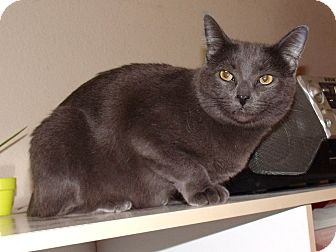 Russian Blue Cat for adoption in Scottsdale, Arizona - GG - Tabitha