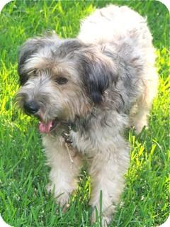 Poodle (Standard)/Schnauzer (Standard) Mix Dog for adoption in Norwalk, Connecticut - Jasmine - adoption pending