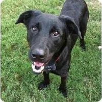 Adopt A Pet :: Soldier - Arlington, TX
