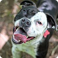 Adopt A Pet :: Bam Bam - Tinton Falls, NJ
