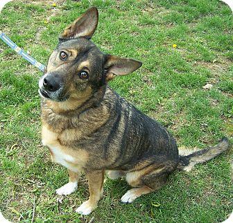 German Shepherd Dog/Australian Cattle Dog Mix Dog for adoption in Hedgesville, West Virginia - Cyrus-great dog!