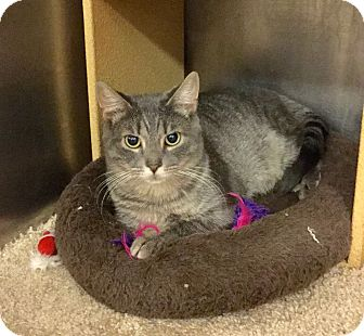 Domestic Shorthair Cat for adoption in Colmar, Pennsylvania - Jenny