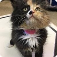 Adopt A Pet :: Toots - Medina, OH